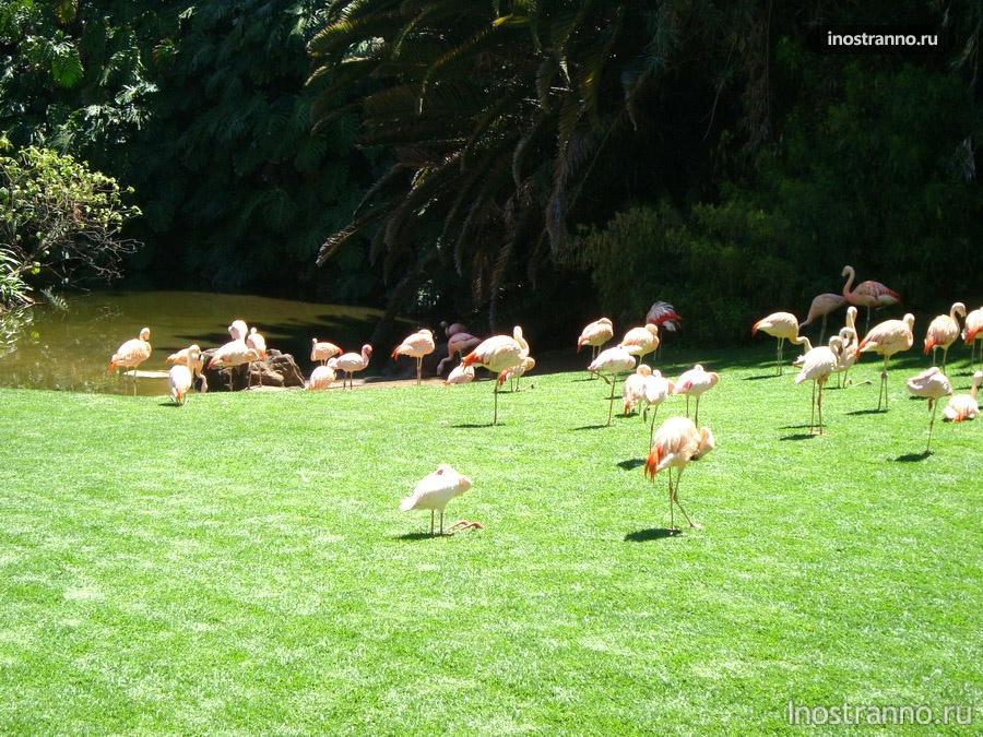фламинго в лоро-парке