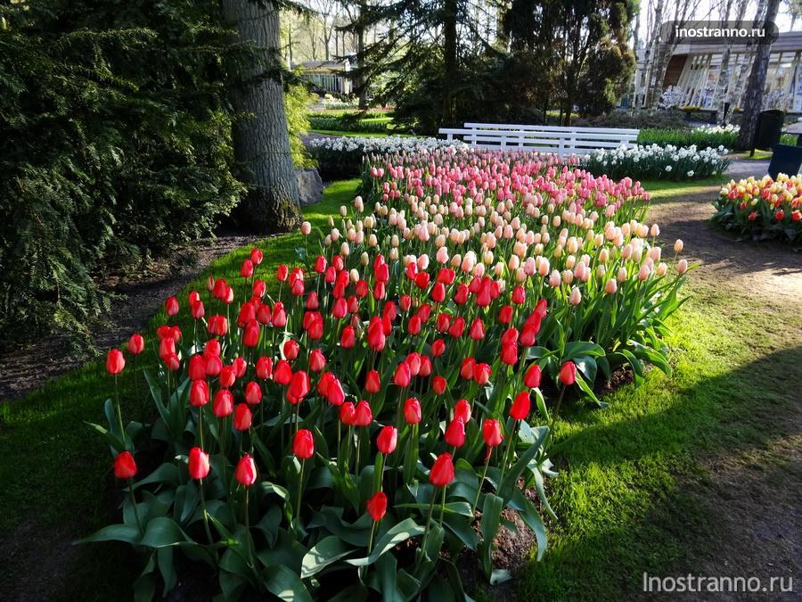 голландия - страна тюльпанов