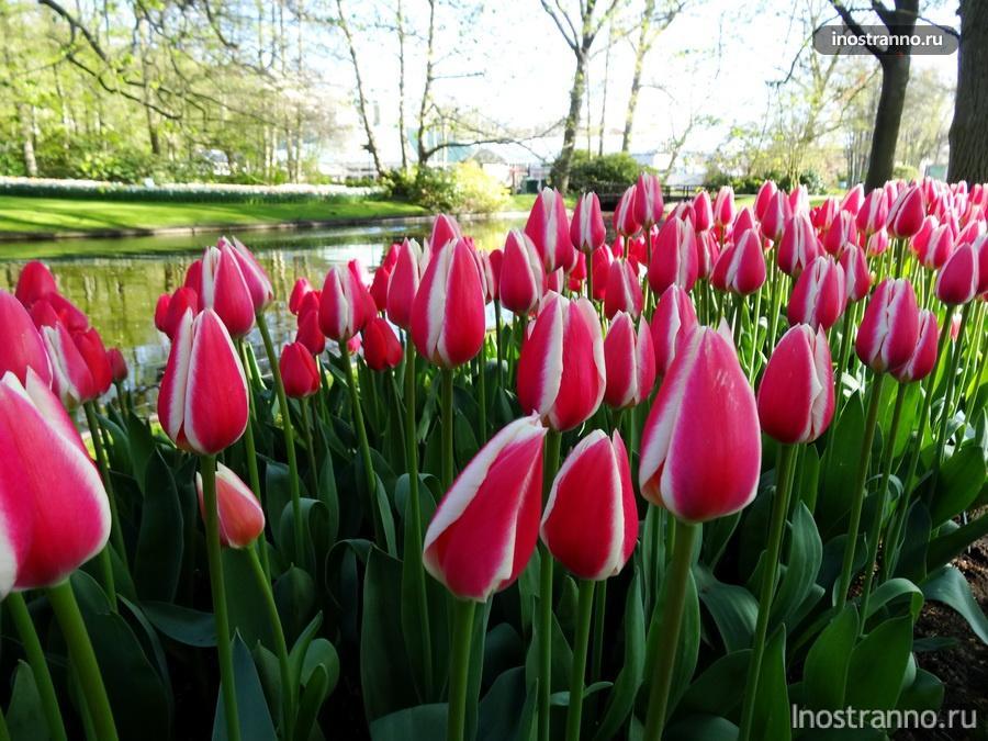 розовые тюльпаны из голландии