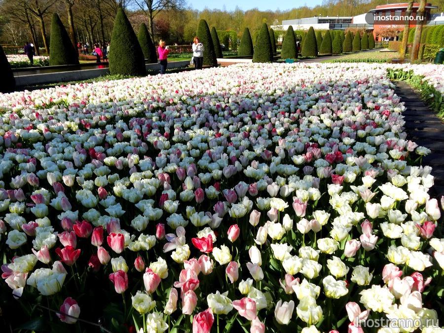 тюльпаны в Амстердаме
