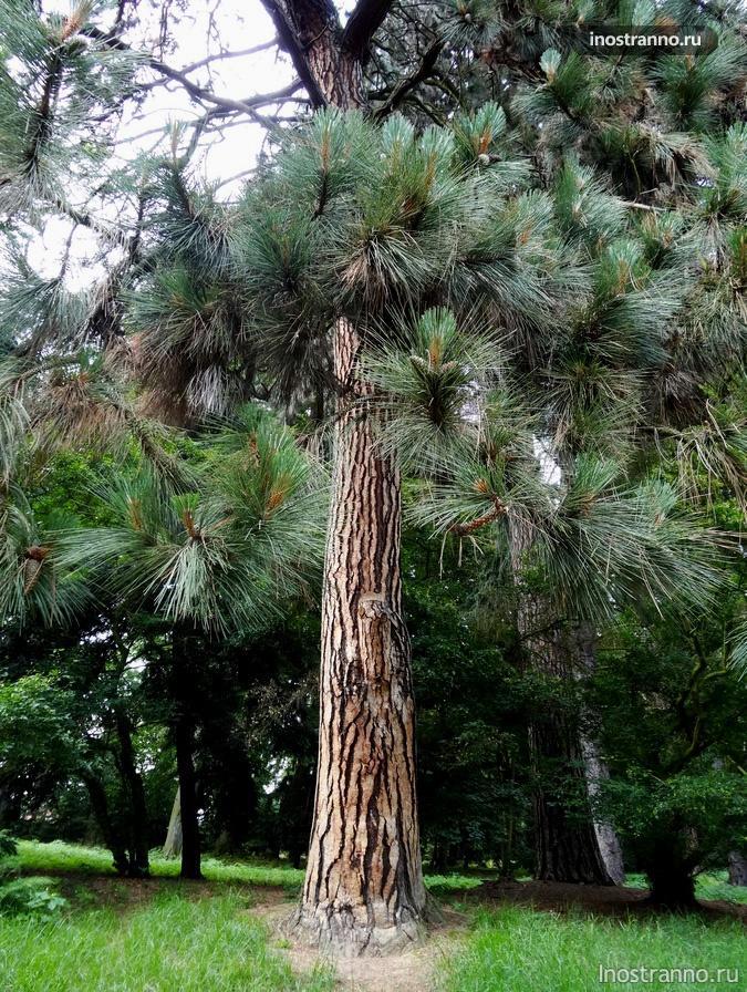 хвойные деревья в парке
