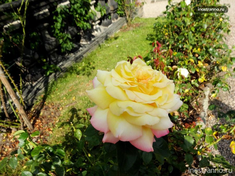 чешская роза