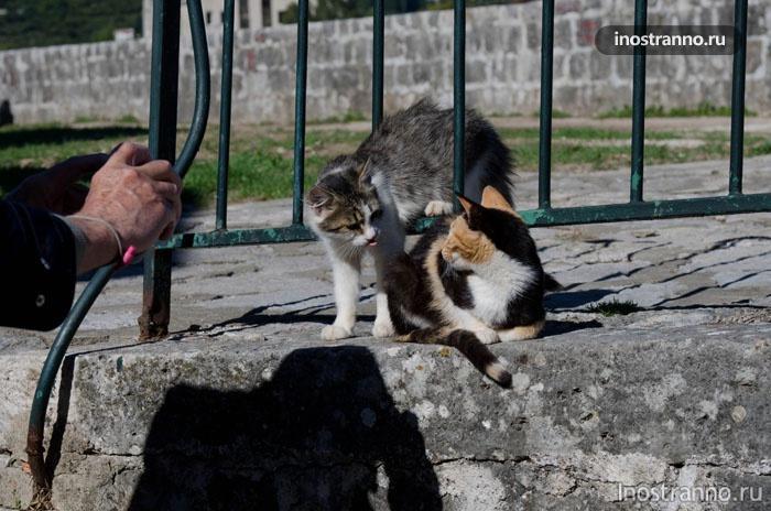 Коты в Которе