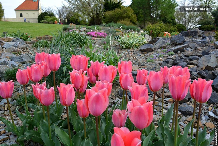 Тюльпаны Праги