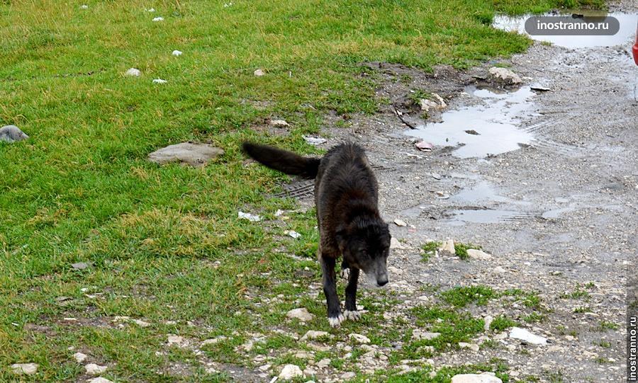 Собака в Румынии