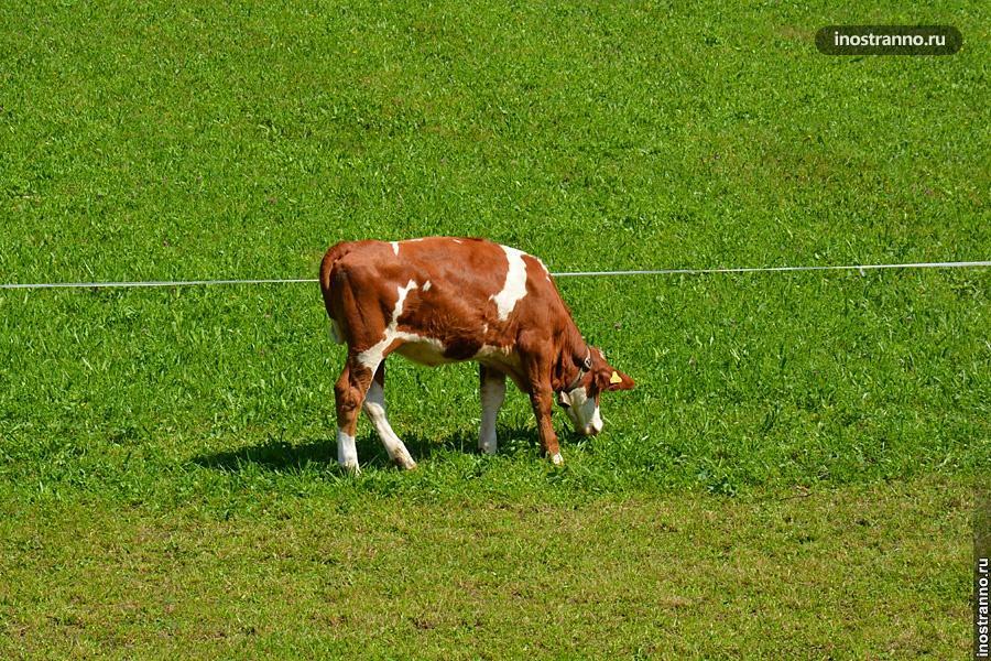 Корова в немецких Альпах