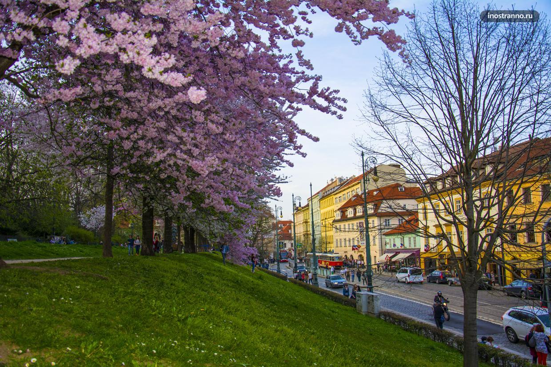 Гора Петршин в Праге цветение сакуры