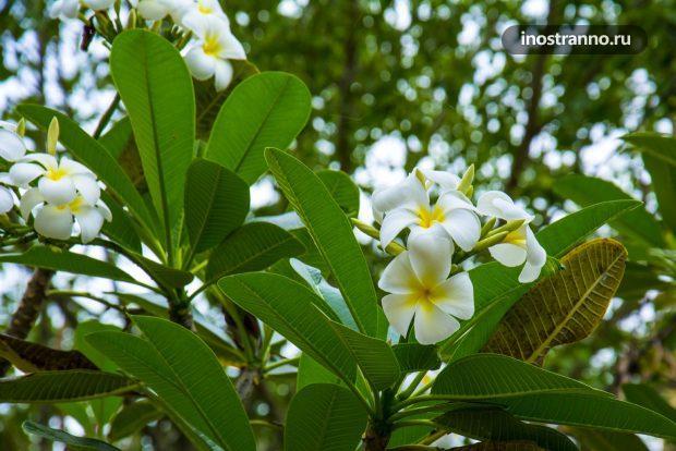 Традиционный тайский цветок плюмерия