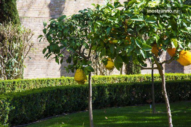 Лимонное дерево в саду Рима