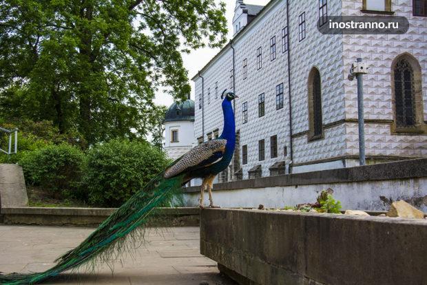 Павлин у замка в Чехии