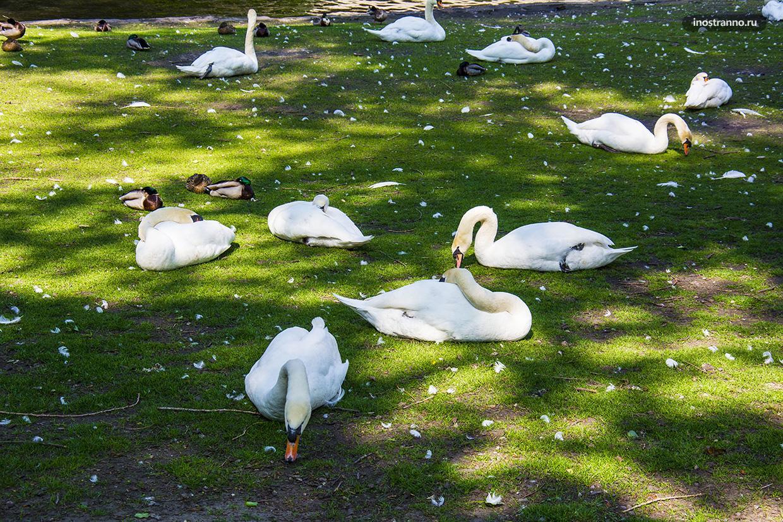 Лебеди в Брюгге, история и легенды города