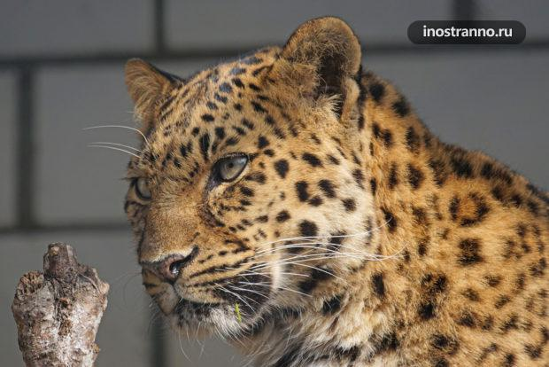 Зоопарк Копенгагена и амурские леопард