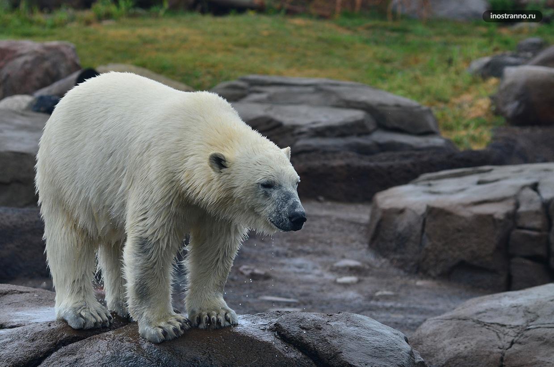 Белый медведь в пражском зоопарке в летнюю жару