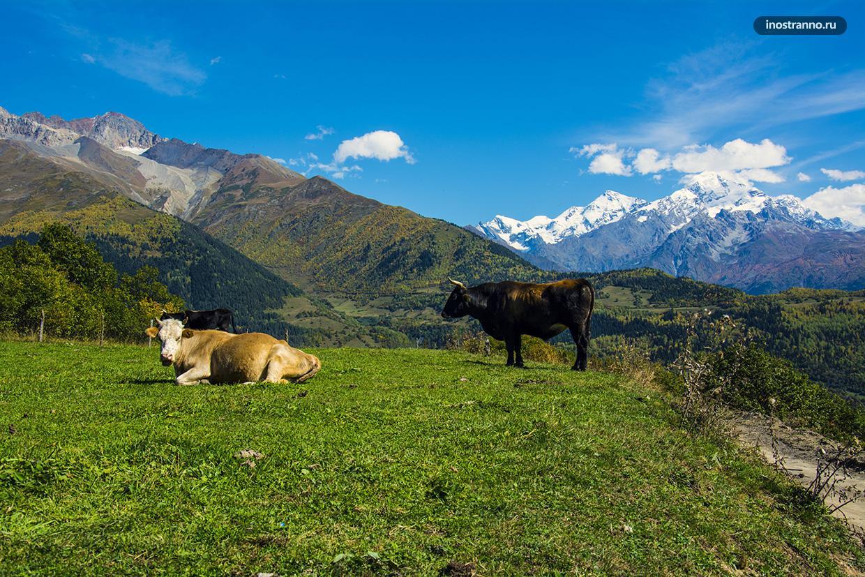 Коровы в горах Грузии