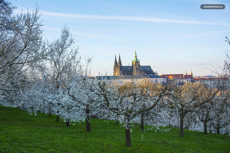 Цветение яблонь в Праге
