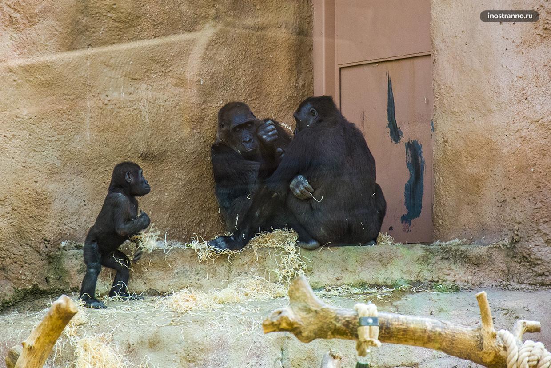 Горилла в зоопарке Праги