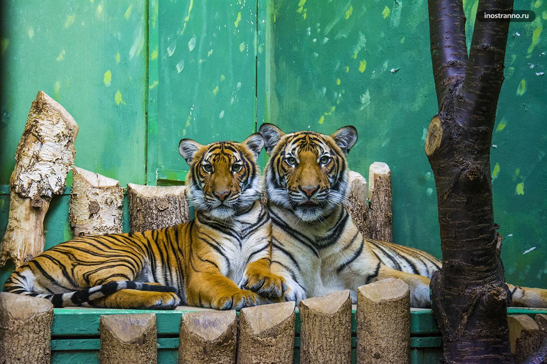 Тигры в зоопарке Праги