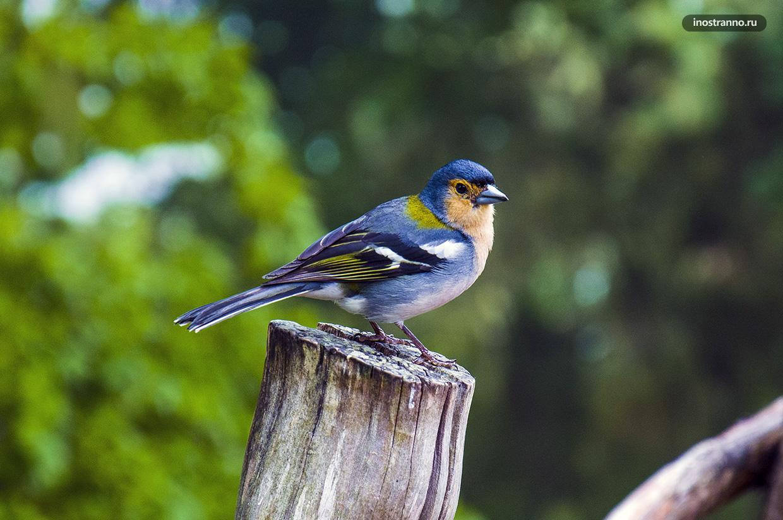 Птицы острова Мадейра
