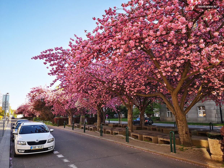 Места в Праге где цветет самая красивая сакура