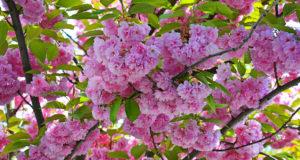 За цветущей сакурой в Прагу вместо Японии или Нью-Йорка