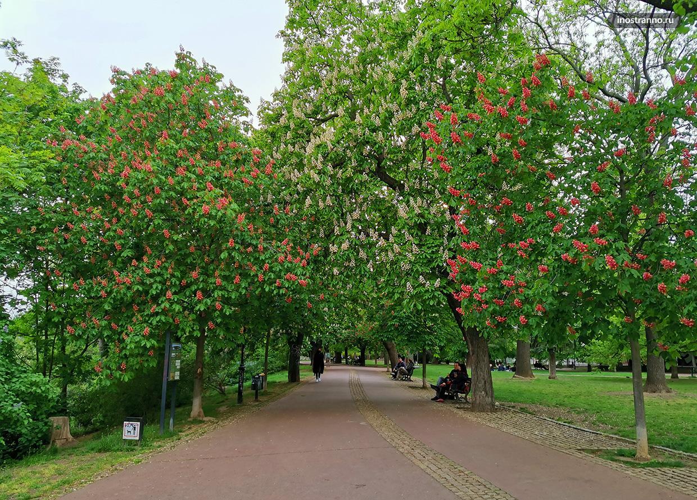 Деревья каштаны