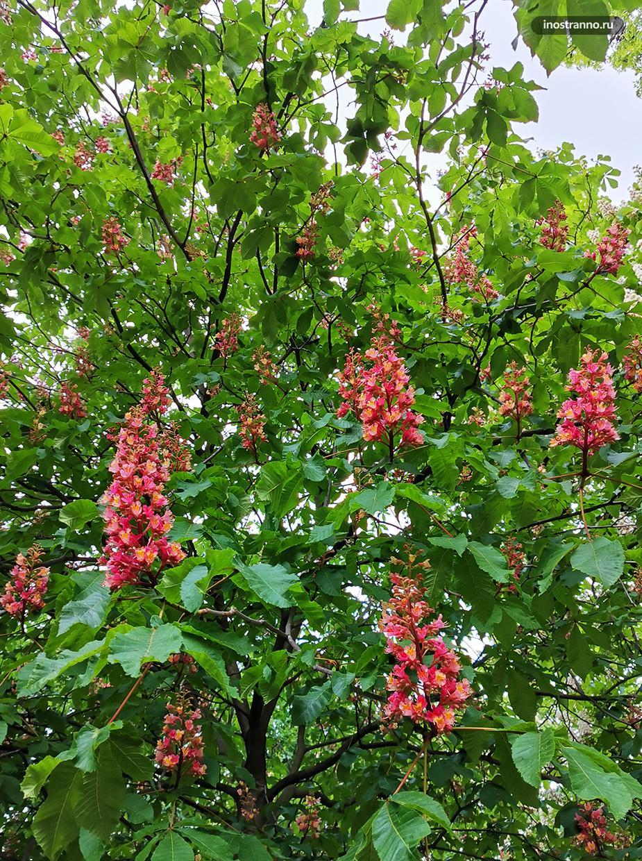Розовые цветки каштанов