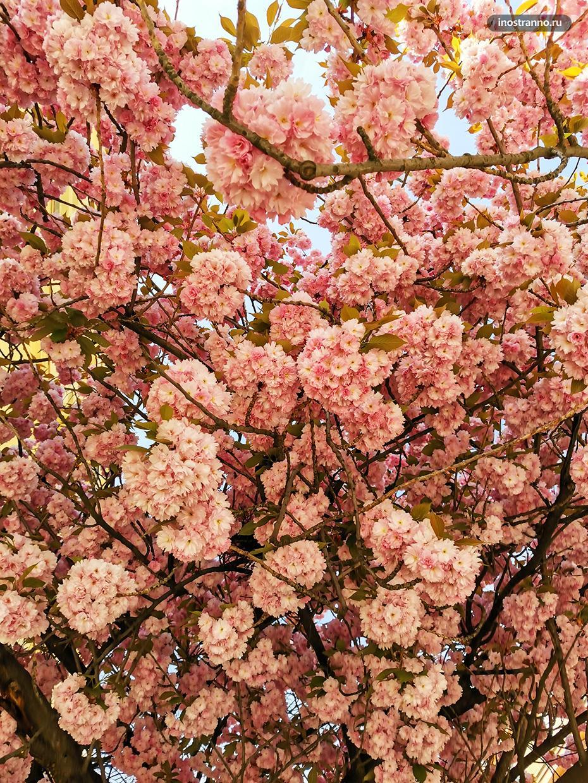 Цветение сакуры в Германии
