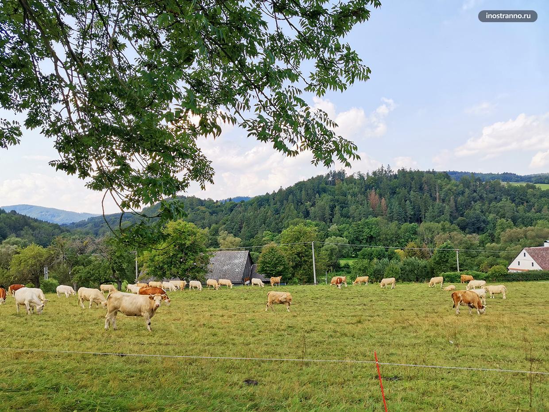 Европейские коровы