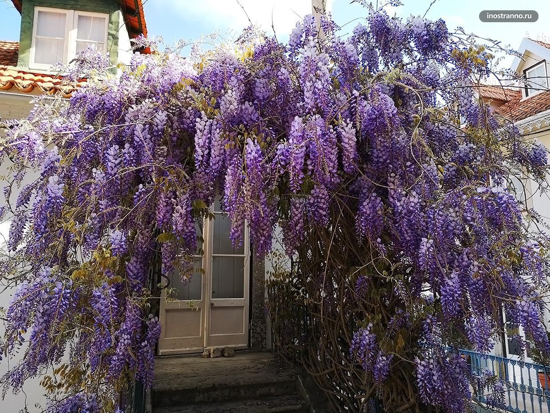 Цветущая глициния в Португалии