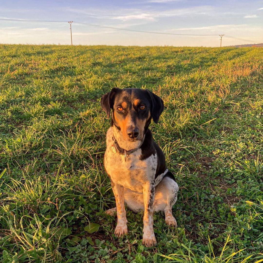 Чешская пятнистая собака