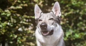 Чешские породы собак: Чехословацкий влчак, Пражский крысарик, пастушья собака и другие