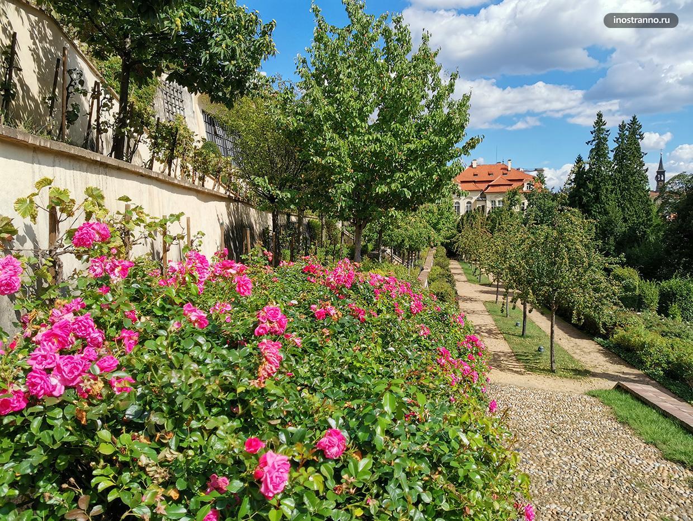 Цветущие розы в Праге